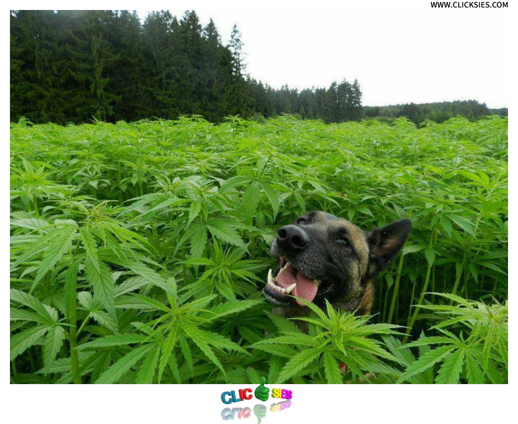 Marijuana Intoxication Dog - www.clicksies.com