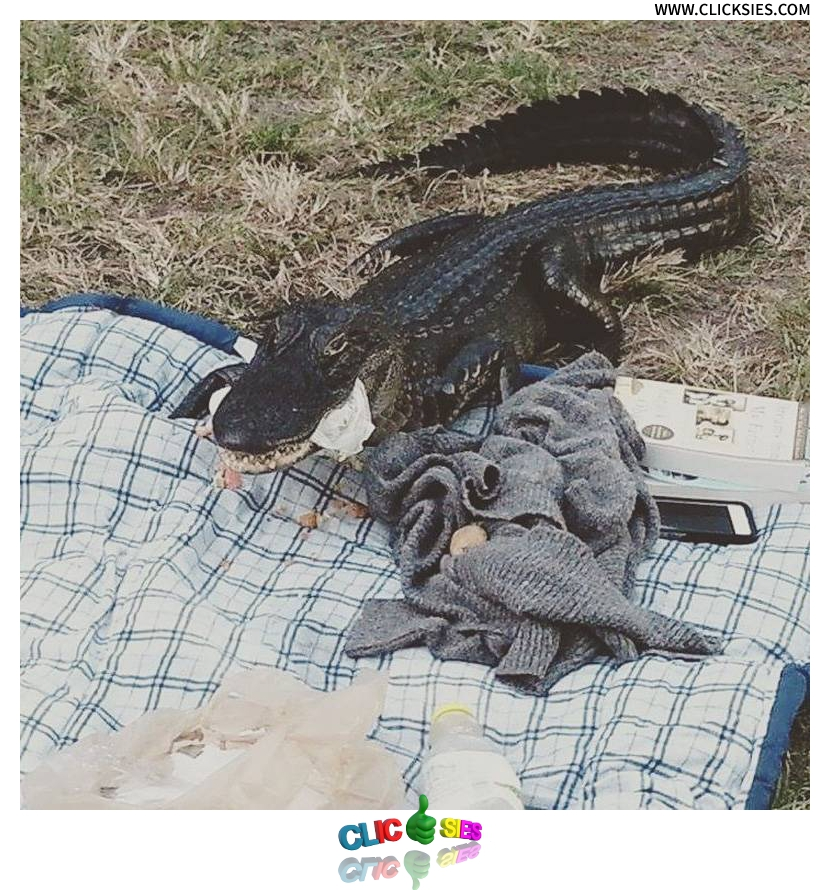 Alligator Crashes UF Student's Picnic - www.clicksies.com