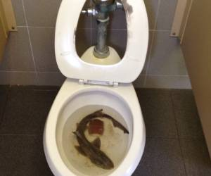 Surprises!!! Baby shark in toilet
