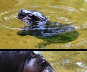 Little hippo learning to swim for the first time