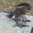 Alligator Crashes UF Student's Picnic