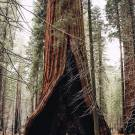 The heart tree in Sequoia National Park California